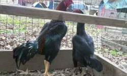 I have a big black pair of shamo for 150 pictured in first pic, in the 2nd & 3rd pics are big shamo pullets 65 each. in the last pic is a pure white pakistan pullet 75 I have extras if you want more.