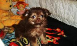 Shorkie-poo(Shih-tzu/yorkie/poodle) Family raised in our home. Great family pet. Veterinarian checked, 2nd set shots, dewormed. Dew claws got rid of. Born Oct. 30th. Mom is Yorkie.poo, dad is Shih.tzu