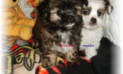Shorkie-poo(Shih-tzu/yorkie/poodle) Family raised in our home. Great family pets. Vet checked, 1st set shots, dewormed. Dew claws got rid of. Born Oct. 30th. (Pictured Dec. 18th at 7 weeks) Will be al