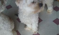 Looking for a forever home for this sweet boys. He is very playful and sweet. He is a twelve month old male. He is a mix of Lhasa, Bichion, Cockapoo. He is all crea