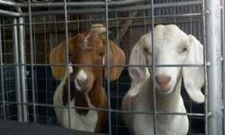 2 show goats for sale. Shown in the Four States Fair in Texarkana, AR and in the Cass County Live Stock Show in Atlanta, TX. Female is white & brown. Male is white. The male is a boer. You can contact