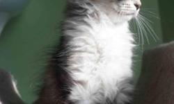 We have Siberian kittens1 Silver and 2 pure White male with odd eyes, TICA registered. Perfect personality ,Lap cat!!! They are is 3 month old and they are checked by Dr. veterinary, have first shots