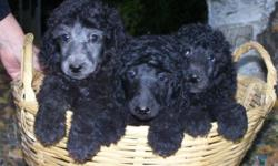 Standard Poodle- male pups for sale. Black or Blue or Silver. Parents onsite; OFA and AKC certified. Tails, dew claws and first shots complete. One year health guarantee. Available as they are 8 weeks