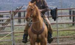 Thirteen year old registered quarter horse gelding, Sir Spooky Marigold, Ranch horse/Roping Horse. Head or Heel prefers heading, very cowy, sorts, pens; you can rope the big ones with this horse. Stan