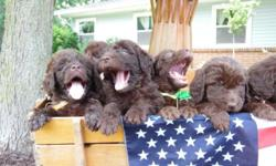 Hi there ! We are newfypoo breeders based out of Michigan,. However, we have a trip planned to Florida for Christmas and we will have our first litter of St. Berdoodle puppies and a litter of newfypoo