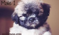 These puppies look like little ewoks or baby chewbacca's from Star Wars Cute and Cuddly Maltipug puppies available for their forever homes NOW! Maltese + Pug Puppies Male and Female available 8 weeks