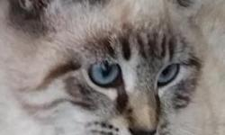 Elsa is a gorgeous female lynxpoint Siamese kitten. She has the traditional apple head. Polydactyl (extra toes!) and ice blue crossed eyes! 16 weeks old and ready to go. Super friendly and playful! Wi