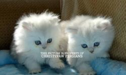 Babies expected fall 2015. Personality Plus!!!! Sweet, loving, playful, & totally gorgeous persian kittens available. I raise these adorable little babies in my home with my family and children. They