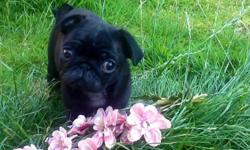 Amazing quality fawn pug puppies. They have been lavished with mums attention, so only the best forever home is suitable for this lady. Beautiful KC registered fawn puppies (pedigree is endorsed) - re