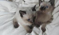 ***one short hair male still adoptable Beautiful male Siamese kittens. The chubby one has not tail. The tiny one has a small, stubby, J shaped tail. Striking blue eyes unlike any you've ever seen. The