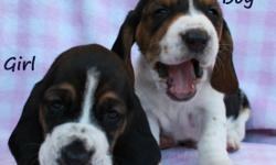 Super Adorable Basset Hound Puppies! These gorgeous, wrinkly sweethearts are eight weeks old. They have had their first puppy shot (DHAPP), been dewormed, and are very healthy little puppies. They are
