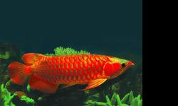 We are exporter and breeder of tropical Aquarium live fish.,we supply best quality arowana fishes and Freshwater Sting Ray fishes of all type/specie. we have the following Arowana fishes available in