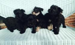 We have four black miniature schnauzer puppies. 2 are males. They were born on 6/22/15 and are ready for the forever home on 8/17/15. Mom is a 10 lb. black AKC mini schnauzer. Dad is a 15 lb. white AK