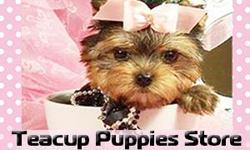 "www.TeacupPuppiesStore.com puppies for sale. CLICK THE ""BLUE"" LINK ABOVE-- TO SEE MY WEBSITE TO SEE SOME OF THE SMALLEST PUPPIES IN THE WORLD. 954-353-7864 - I WILL GIVE YOU A BETTER PRICE. I SHIP AND"