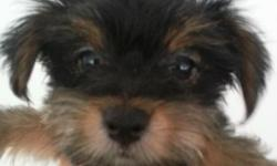 Our babies are happy and healthy and ready to come home with you. They had shots, got health certificates and the vet says happy and ready to go. The Chorkie has two coat types, long hair and short ha