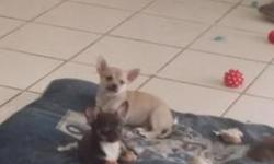 I have one girl purebred chihuahua left. She is the tan puppy. The two other dogs are the parents. She is the sweetest little girl we wish we could keep her but we already have so many dogs lol. She h