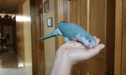 Baby friendly blue Quaker, 4 months old Sex unknown, this parrots have the ability to learn to talk Call or text me for more information 305-562-7906 I WILL SHIP, IF IS NECESSARY PAYPAL and CREDIT CAR