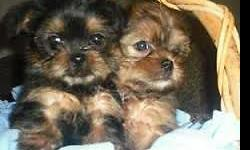 Beautiful teacup shorkie puppies ( shihtuz /Yorkie hybrid ) make wonder pets and are hypoallergenic don't shed and very smart and friendly little dogs love to be held and played with and are wonderful