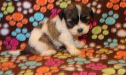 I have 3 Tricolor and white Parti females, white with buff female, white female, and a white with black male puppy.. The AKC Dam is a 9 pound Bichon Frise and the AKC Sire is 10 pound Black brindle an