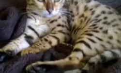 I currently have available four brown spotted bengals- one male and three females. They come with two vaccinations, health check and a one year health guarantee for any genetic defects. Both parents a
