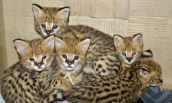 TICA Registered Savannah kittens, caracal lynx, ocelot kittens and Serval Kittens, home raised and bred for quality, health, type and personality. Well adjusted kittens guaranteed at reasonable prices