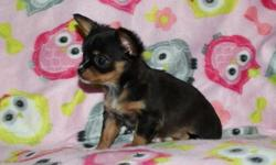 Beautiful AKC Chihuahua puppies available Born 9/1/15 will be ready at 8 wks old on Oct 27 This little girl is super tiny and has a gorgeous full tri color long coat with white markings Charting to be