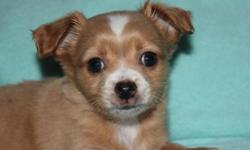 Beautiful AKC Chihuahua puppies available Born 9/1/15 will be ready at 8 wks old on Oct 27 This little guy has a gorgeous full golden long coat with white Charting to be about 5 1/2 lbs Mom is long co