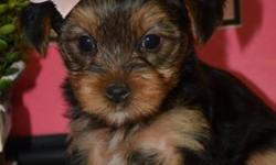 XS EvelynJean - SALE NOW ($900.00) --Yorkshire Terrier Female -CKC Registered- Sir 3lbs Dam 5/6lbs - Estimated 4-6lbs full grown. Such a Yorkie Beauty! DOB:9/3/15- Estimated pick up day -Oct 30th- or