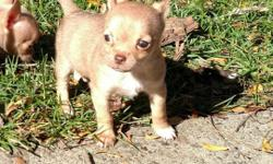 3 tiny male chihuahua puppies Have 1st shots, dewormed and vet check $300 ACA registration available Ready to go 11-7-15 Please call or text 724-970-0702