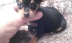 He is a tiny little Teacup Chihuahua black and tan boy not even weighing a pound,He wont get over 2 to 3 pounds full grown.He is ckc registered,had his worming,He is pee pad trained and he sleeps in a