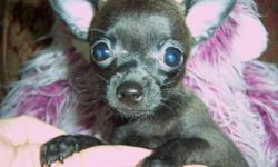 We have a tiny teacup Chihuahua now available. His puppy name is Ernie and he is a little guy. He will be just 3 to 4 pounds when full grown. Ernie is a playful little fellow, he enjoys wrestling with