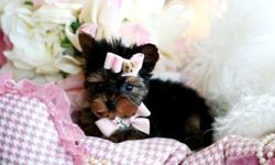 Come and pick out your Yorkie puppy. We have toy and teacup Yorkie puppies with baby doll faces and shiny hair coats. They are 8 to 12 weeks old and the price starts at $550. We specialize in toy bre