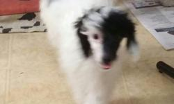 I have a beautiful toy poodle boy for sale. He is AKC. He is black and white. He has his shots and wormings. He is on Heartgard. He is 6 months old and is 8 lbs. I will lower his price of he and his s