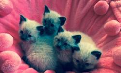LOVELY SEAL POINT RAGDOLL/SIAMESE KITTENS! BORN ON JUNE 16TH AND WILL BE AVAILABLE IN AUGUST! 3 MALES AND ONE FEMALE. THEY 'RE FUN, FRIENDLY, AND AFFECTIONATE WITH RAGDOLL PERSONALITY! VETERINARIAN CA