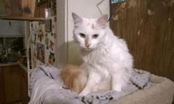 I have a purebred Turkish Van who needs a good home. He belonged to my brother who planned on breeding him but the family dog killed the female. I was given the male, Vaan, to find him a good home. He