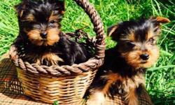 I have two outstanding Yorkshire Terrier Puppies for sale. They were born on September 27th and are ready for adoption. They have been vet checked have their recent shots, de worming and will be micr