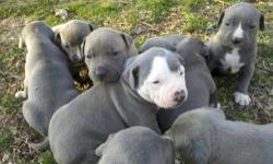 We have some Ukc Pr blue pit puppies for sale. They are mostly of razors edge. They are great looking pups.Both parents have great build and great temperment. Good for shows or just a family pet . Pup
