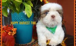 Uncommon puppy male shih Tzu. He has rare green eyes, and white with brown silky coat, flat red nose short body and legs,. This cute little boy will captivate your heart, healthy social, and ready to