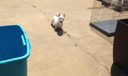 Westies pups, male and females, 3 month old litter and 5 month old litter. Both litters have AKC Champions in their bloodlines. They are health guaranteed and micro chipped. They are sweet loving babi