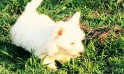 """""""WESTIES"""" AKC West Highland White Terriers Westies pups, male and females, 4 month old litter and 6 month old litter. Both litters have AKC Champions in their bloodlines. They are health guaranteed an"""