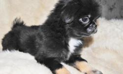This little boy Butchie was born 8-29-2015 . He has had both sets of puppy vaccinations and has been wormed twice also . He has been Vet Checked and his health paper and shot record will accompany him