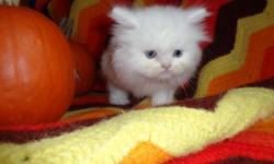 We have a new litter of Teacup Persian male and female kittens (white, red, calico) ready to go to their new homes right now. You can come see these beautiful kittens in Brooklyn, New York, so you can