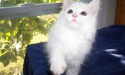 """White Angora Kittens-DLH (Domestic Long Hair). We can barely contain our enjoyment! We have 2 cute strong White Angora kittens currently offered.(June/July 2014). Our White Angora, """"Kosem"""" (""""Anastatia"""