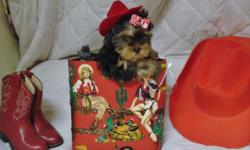 "''Yorkie Girl--""Red""-Born 8-22-2015.-10 weeks and ""Ready to go 10-30th and after.-Pics are of Current pup for sale-Ckc Reg. Papers--She is $600--(Price is Lower than I sell Females for-Cause she has a"