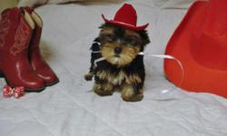 "Small 'Yorkie Girl--""Red""-Born 8-22-2015.-11 weeks and ""Ready to go Home Now.-Pics are of Current pup for sale-Ckc Reg. Papers--She is $600--(Price is Lower than I sell Females for-Cause she has a ( I"