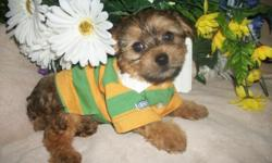 So tiny, cute and sweet! Yorkipoo (yorkie/poodle mix) puppies. Boys $300/Girls $400 (theres 1 girl) All shots and wormings up to date, vet certificate, Health Guarantee! Poodles are the second smartes