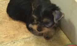 Puppy Dog City has yorkie puppies available now for a good, loving home. These pups are AKC limited registration. Males 600.00, Females 700.00. We guarantee our puppies to be healthy. They are up to d