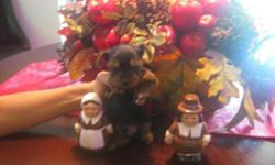 Selling beautiful, playful and healthy Yorkie puppies with wonderful disposition. I have 1 male 1 female, all very small in size. All are black and tan. Parents are very small: Mom is 3.5 lbs (gold an