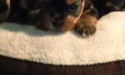 Yorkshire terrier pups 8 wks purebred tiny female 800 males 800 verycute parents akc shots womed tail done and dewclaw removed daddy 3 lbs mon 4ts lbs parti color puppies very smart and social each be