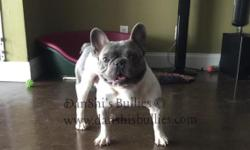 Zayah - French Bulldog Adult Male for Sale As hard as it is to say, we've decided to sell Zayah. Unfortunately we can not keep them all, and this is never easy! Zayah is one of our foundation males an